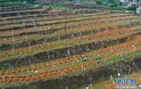 廣西龍州縣上降鄉發展百香果種植產業,助力村民脫貧致富
