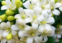 桂花別養了!此花才是我國最香的花卉,花開210天,好養如綠蘿