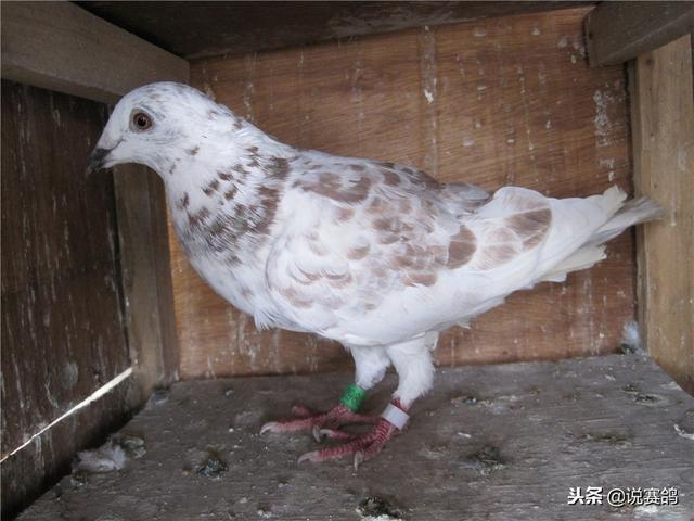 關於賽鴿呼吸道疾病的一些問題