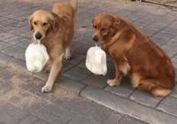 懶貨主人想吃早飯,逼迫兩隻金毛去買饅頭,金毛表示敢怒不敢言