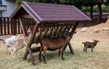 動物圖集:鄉村的山羊