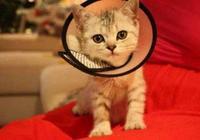 為什麼戴上伊麗莎白圈,貓咪連路都不會走了?