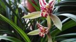 蘭花不開花的祕密被公開了,解決2個問題,蘭花年年開花100朵