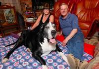 妻子對丈夫謊稱養小型犬,結果小狗越長越大,站起來比人還要高!