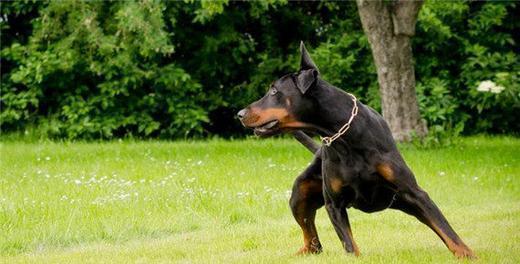 訓練杜賓犬禁止與猛犬鬥毆的辦法