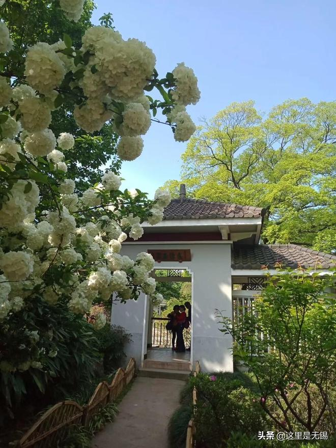 梅園不只有梅花和鬱金香,這個時候木繡球花也開了,美麗壯觀