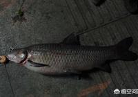 農村老人說青魚能吃螺螄就是因為嘴裡的青魚石,什麼是青魚石?多大的青魚才有青魚石?