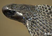 把眼鏡蛇的蛇毒注入到眼鏡蛇體內,會發生什麼?