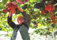 八月獼猴桃主要7項農事操作:套袋、水分、生草、修剪、病蟲害、追肥、架構