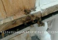 中蜂飼養經驗幾則:徐祖蔭、林黎、周文才