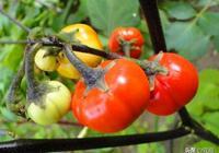 這幾種茄子,比花都好看,種幾株在庭院,超美!