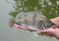 幾點野外釣鱖魚技巧,讓你輕鬆釣到鱖魚,品味鱖魚的美味