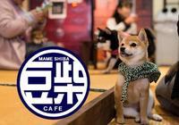 日本出現豆柴主題咖啡廳,被柴犬圍繞著的感覺,大概就是幸福吧
