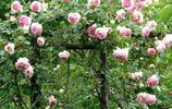 如此浪漫的爬藤你見過嗎?花朵彷彿瀑布般,讓人生活在花的海洋