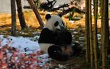 汶川臥龍中華大熊貓苑 神樹坪基地大熊貓攝影