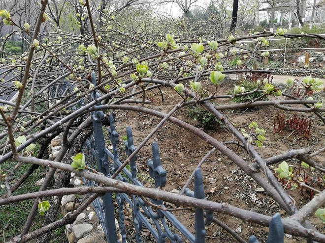 見攝者:獼猴桃和獼猴什麼關係?它長在地上還是樹上,你見過嗎?