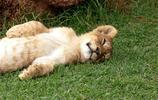 動物圖集:可愛動物小獅子