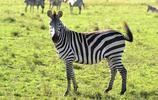 動物圖集:華麗的斑馬