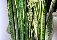家養虎皮蘭,一個葉子種10棵,蹭蹭長不停,又美又淨化空氣