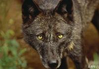 深山狼王(27):狼王的對決