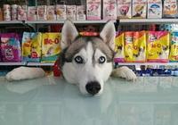 大愛萌寵控第1304:碰到這麼可愛的哈士奇,這狗糧白送了