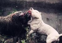 綜合型猛犬——杜高,猛犬中的佼佼者