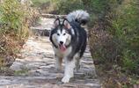 動物圖集:帥氣的阿拉斯加雪橇犬