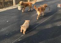 農村大叔為解悶養十多隻金毛狗,訓練的個個會幹農活,成村裡紅狗