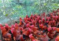 農村養雞人害怕的新城疫,如何診斷,怎樣進行有效預防和治療?