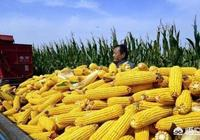 今年玉米開秤,行情大家覺得會怎麼走?19年的玉米行情如何呢?