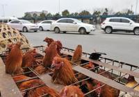 上蔡的雞真便宜,十塊錢三隻!