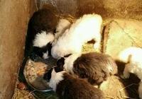 狗場裡,這些狗不是狗,是純種狗生產生殖機器