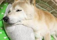 16歲狗狗患上老年痴呆,貓咪一改從前霸道整日溫柔陪伴,畫面好暖