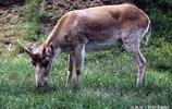 中國珍稀動物——羚羊