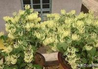 盆栽金銀花,按照這4個細節來養,花苞密,枝芽多,一兩年成老樁