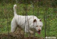 我國有哪些優秀的獵犬?