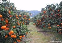 柑橘生長特性都不懂,怎能種出好柑橘?