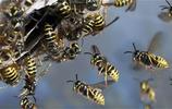 動物圖集:黃蜂