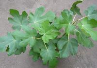 養無花果,換1個大盆養,多施肥,長得枝繁葉茂,一棵結9、10斤