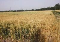 憶家鄉內鄉20年前,農村收麥那忙碌的場景