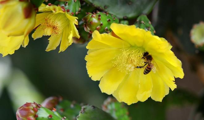 開花的仙人掌