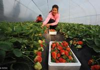 草莓,甜瓜高效種植模式,你覺得每畝能收入多少錢?