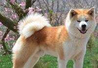 如何區分中華田園犬和秋田犬?