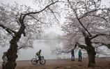 潮汐湖畔櫻花盛開