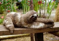 史前大樹懶有多懶?身長6米重達5噸,卻比樹懶還懶