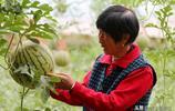 晉南農村有機西瓜開園售賣,現場免費參觀品嚐,賣8元一斤貴嗎
