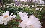 濟南四月賞花季,一起欣賞農村種植的牡丹花
