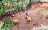 七旬大爺在農村養牛已36年,靠牛給倆娃娶上媳婦,為啥還要繼續養