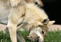 狼叼走嬰兒,被村民們亂棍打死,嬰兒的父親卻將狼埋入祖墳