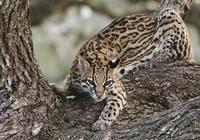 你知道嗎豹貓共計有16種,有一種與東北虎、東北豹並存
